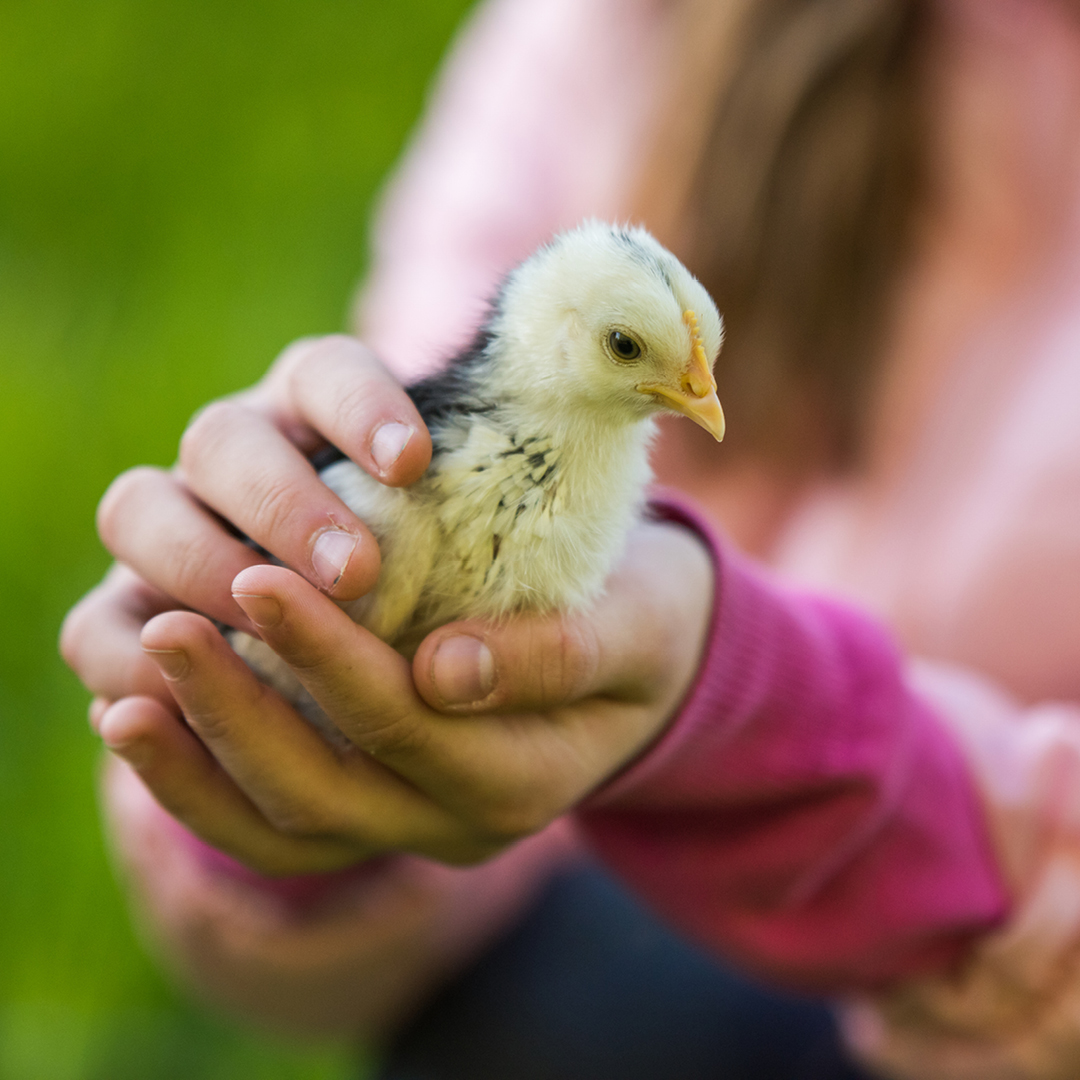 holding a chick